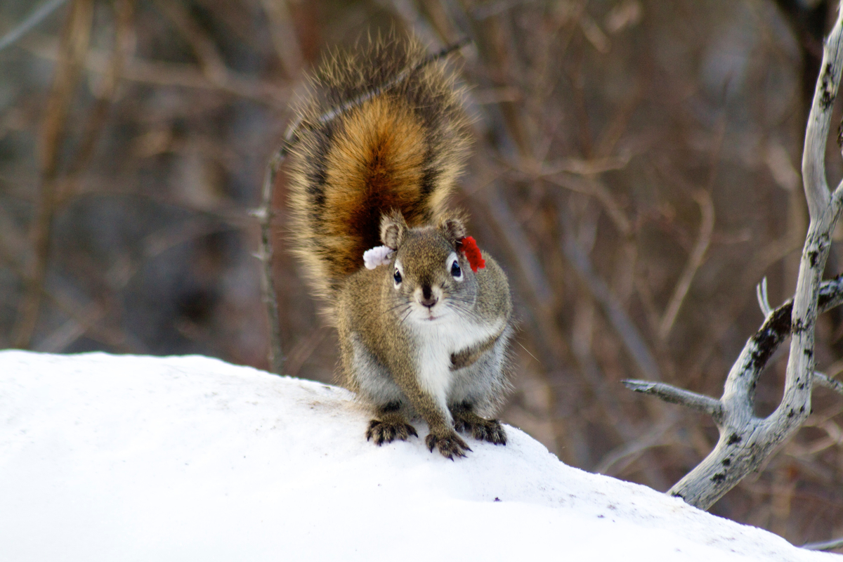 A curious male red squirrel poses for the camera.