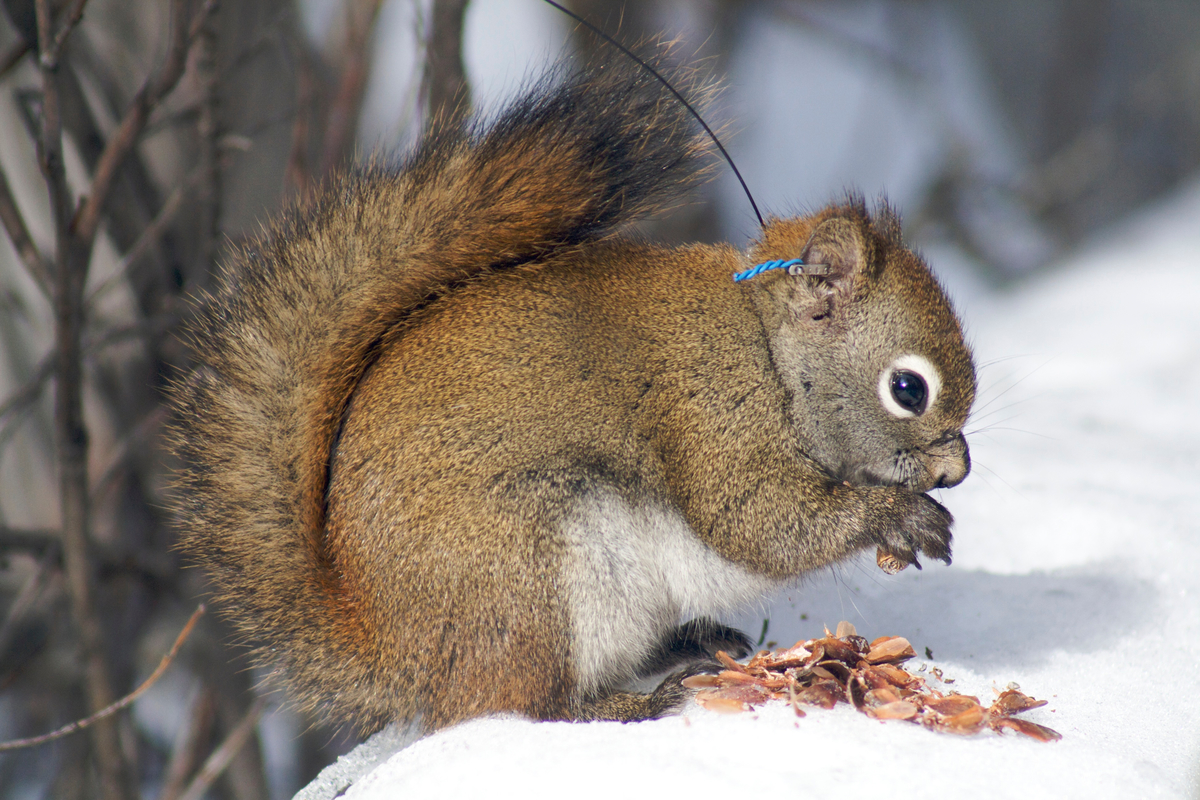 A female red squirrel (with radio-collar) eats a white spruce cone, their main food source in the Yukon, Canada.
