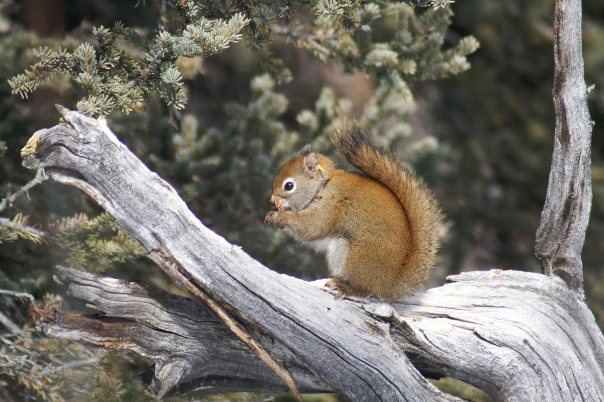 Another red squirrel eating a spruce cone.