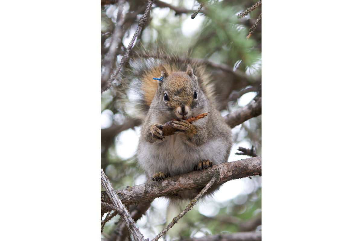 A right-handed red squirrel eats a spruce cone. (Yes there are left-handed squirrels too!)