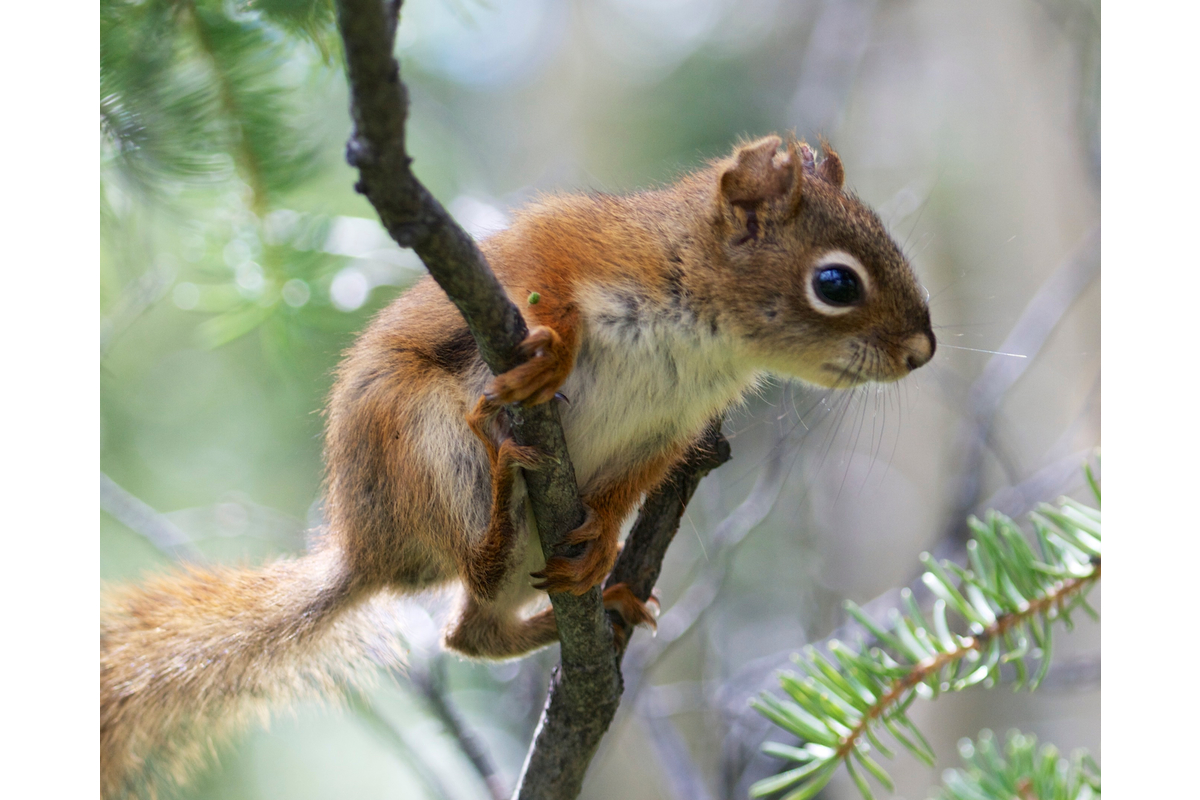 A juvenile red squirrel strikes a tree frog pose.