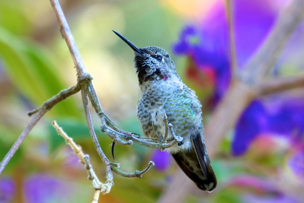 Anna's hummingbird in Berkeley, California.