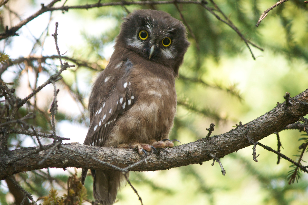 The cutest owl, the boreal owl. Yukon, Canada.