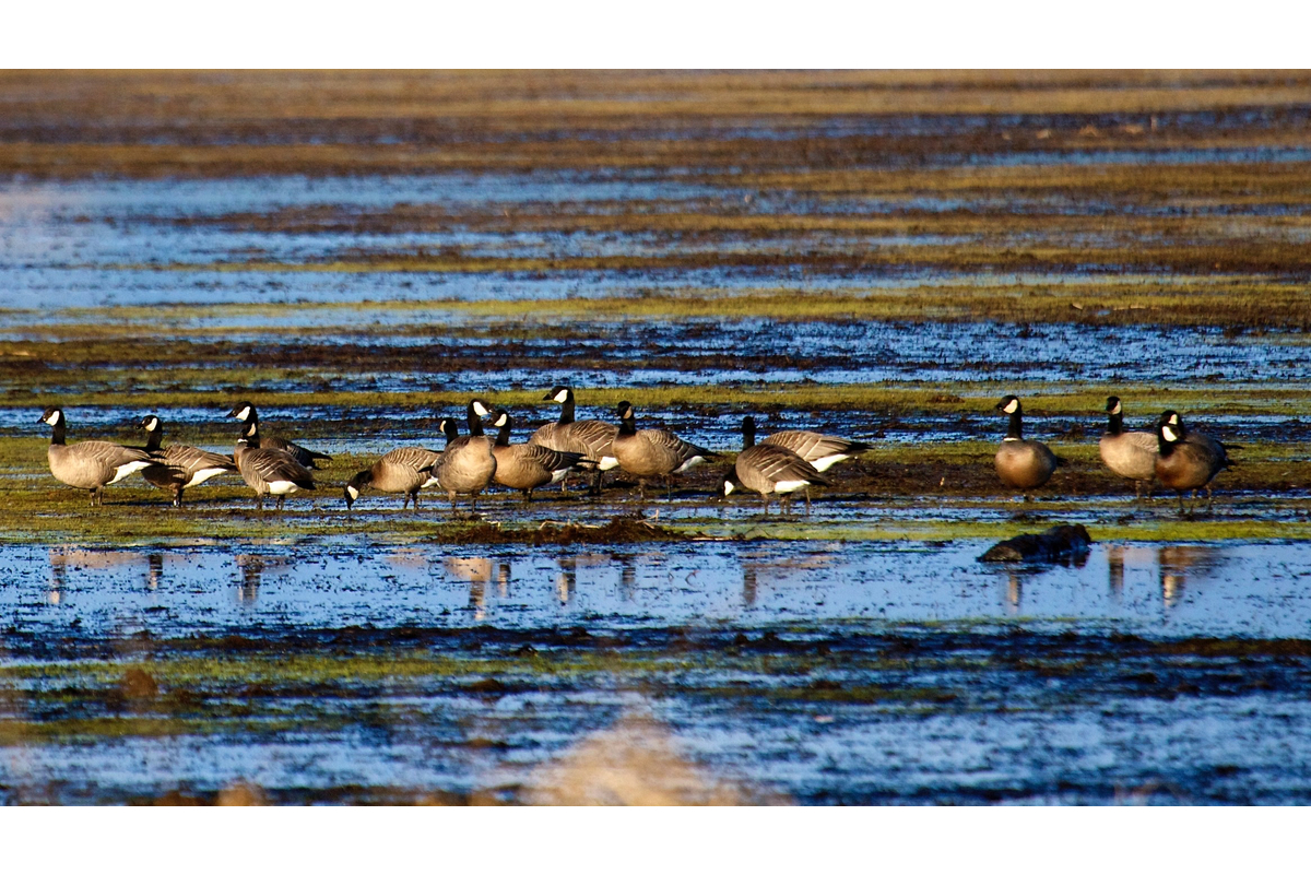 Canada geese in the mud flats at Fern Ridge reservoir near Eugene, Oregon.