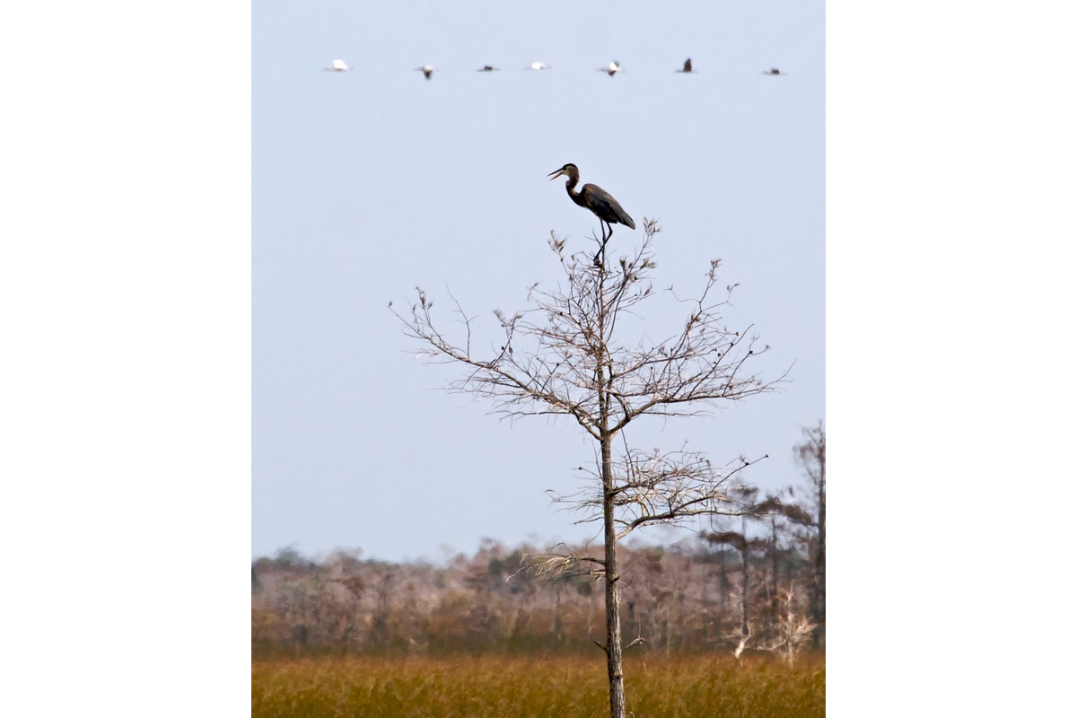 A great blue heron sites atop a tree while White ibises fly overhead. Everglades National Park.
