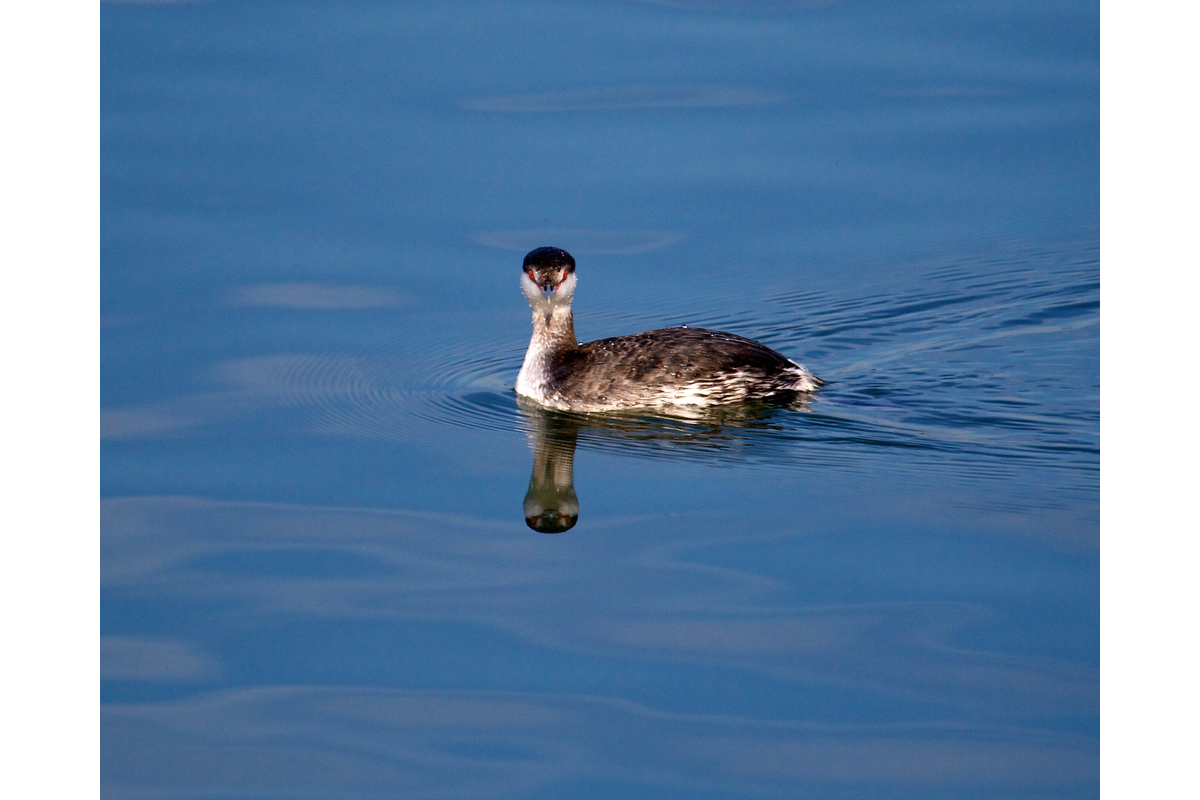 Here's a horned grebe lookin at you. Oakland, California.