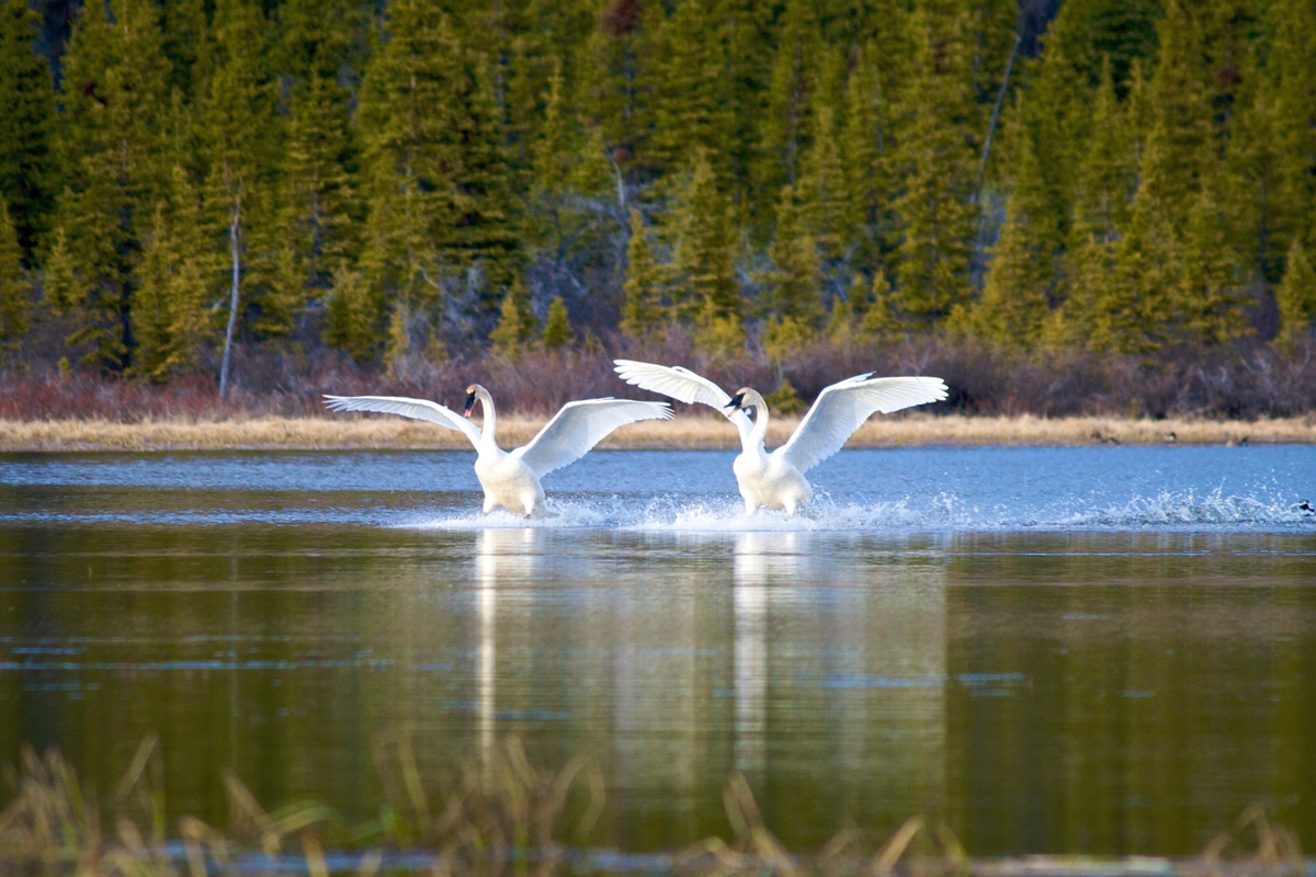A pair of trumpeter swans land in Kloo pond. Yukon, Canada.