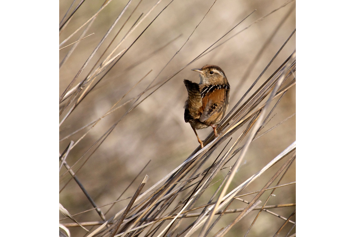 A marsh wren in the Fern ridge marsh. Near Eugene, Oregon.