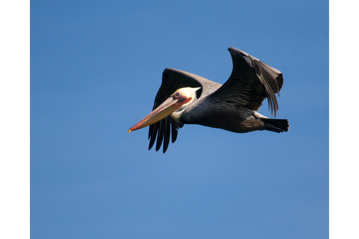 Brown pelicans are my favorite pelicans. Oakland, California.