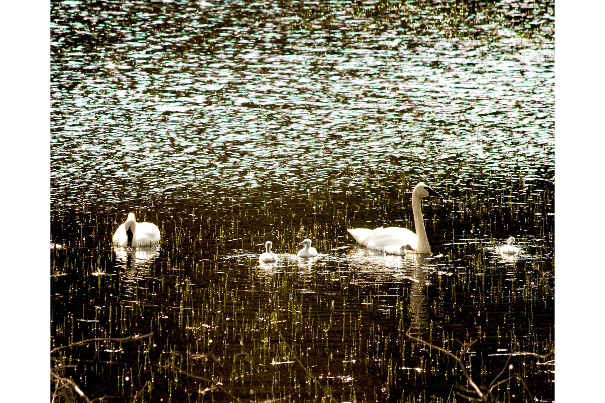A family of trumpeter swans backlit and sparkly. Near Haines, Alaska.