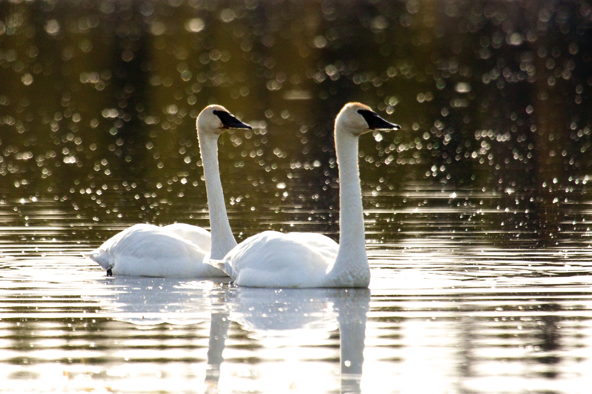A pair of trumpeter swans on Kloo pond. Yukon, Canada.