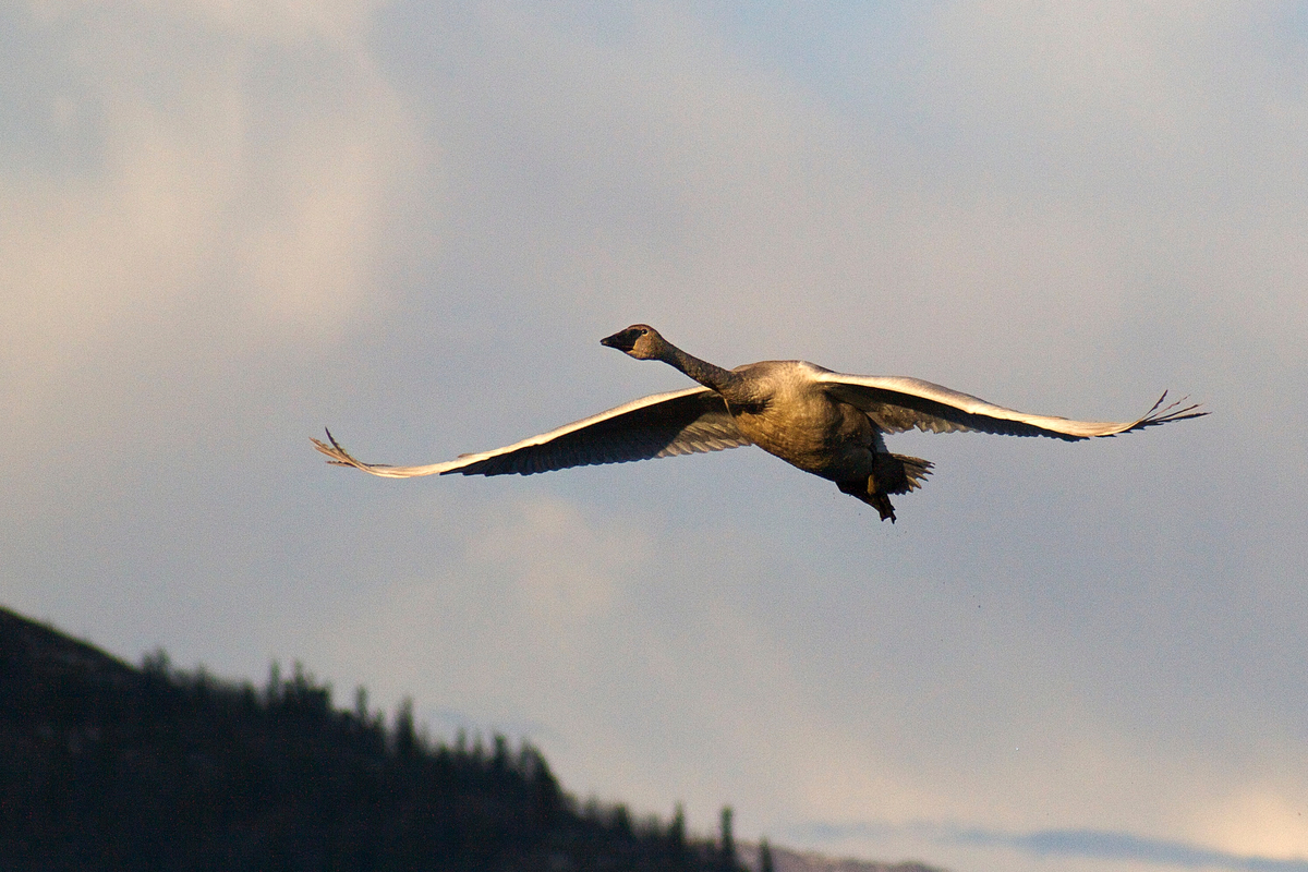 A trumpeter swan takes off to head further north. Yukon, Canada.