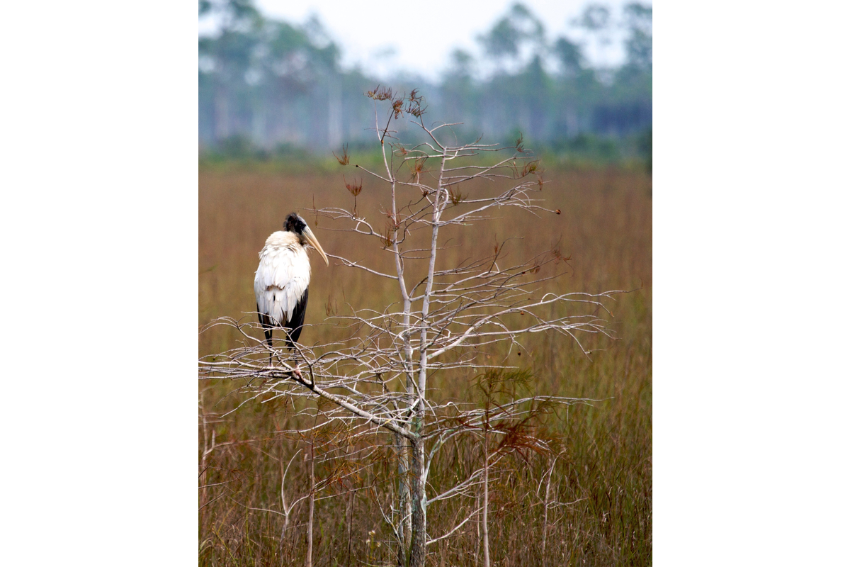 Here's a wood stork in the Everglades National Park.