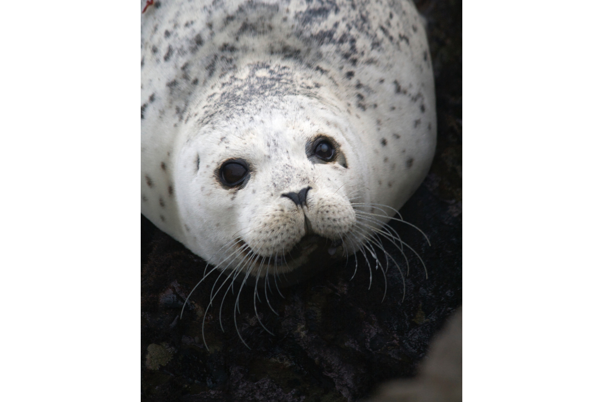 Happy harbor seal. Shelter Cover, California.