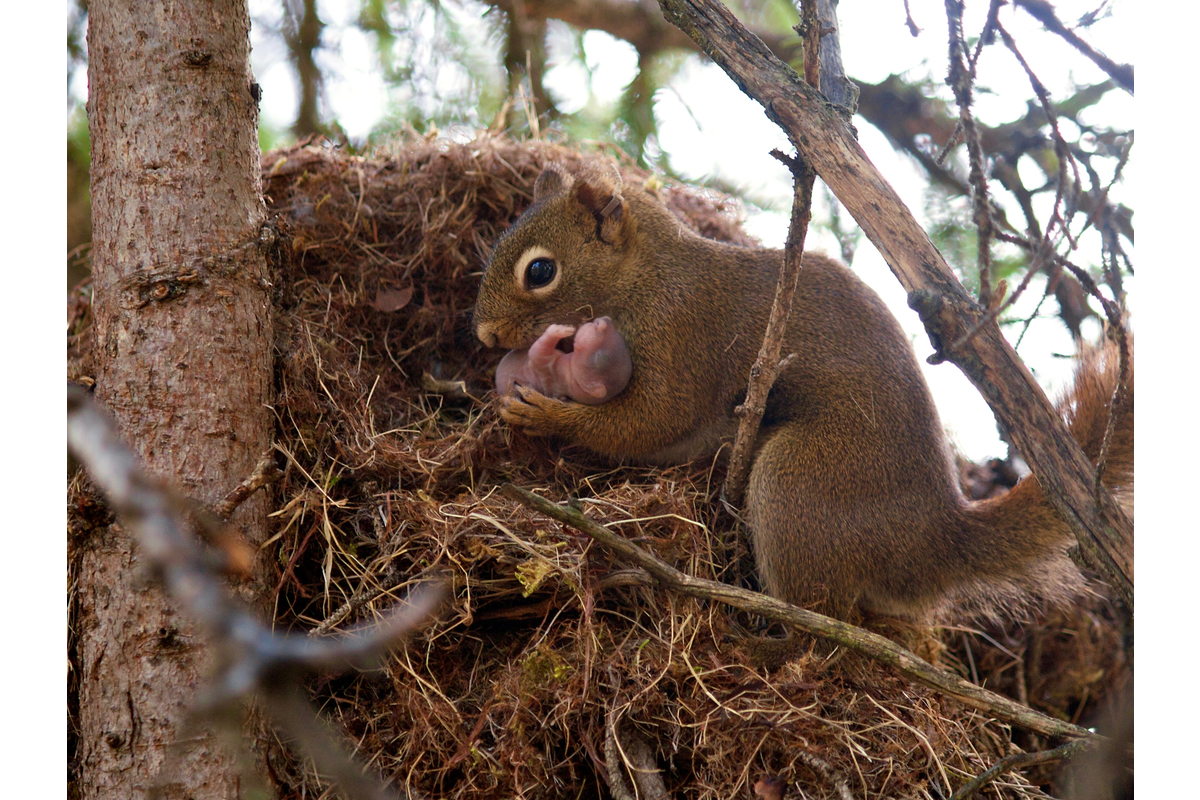 A red squirrel prepares to move her pup to a new nest.