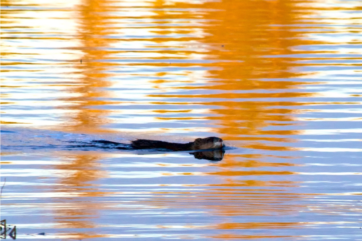 A muskrat swimming in Kloo pond at sunset. Yukon, Canada.