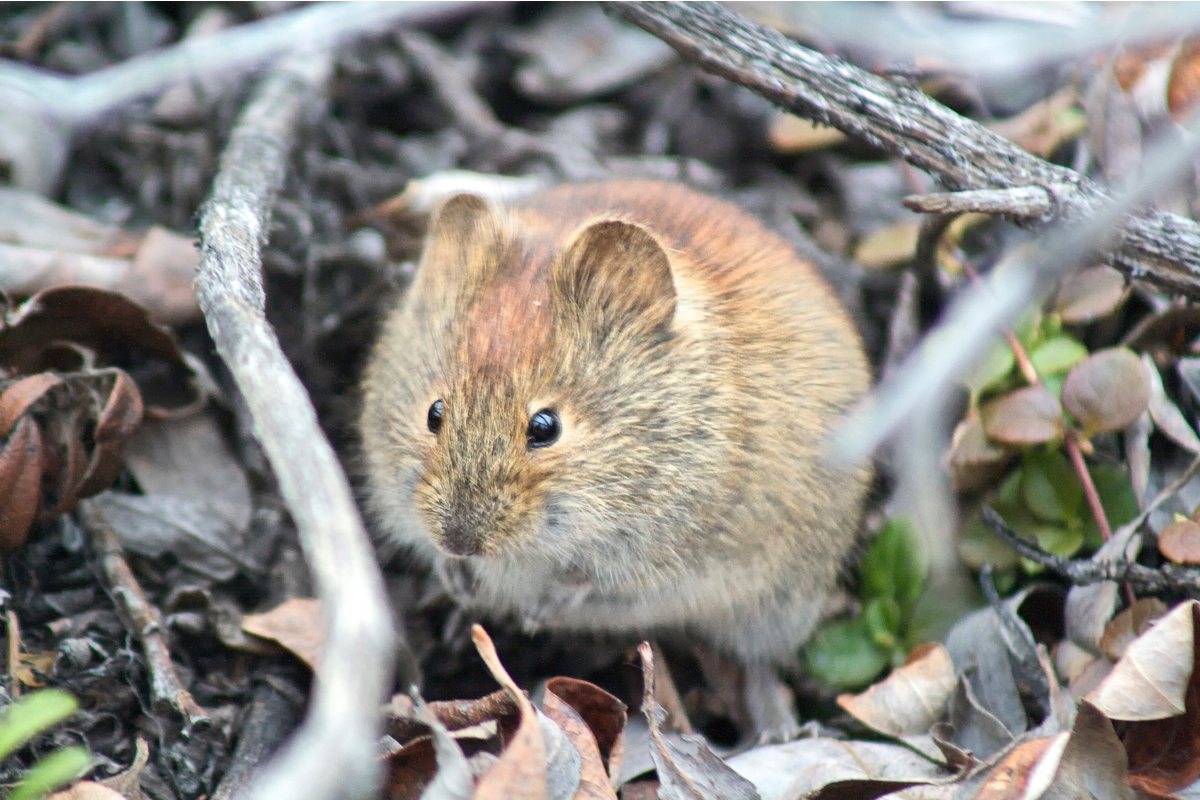 Red-backed vole in the Yukon, Canada.