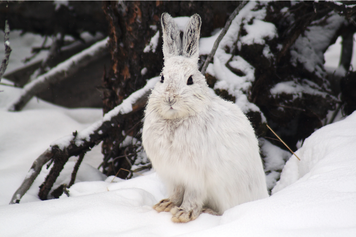 This snowshoe hare is showing off it's insulating coat. Yukon, Canada.